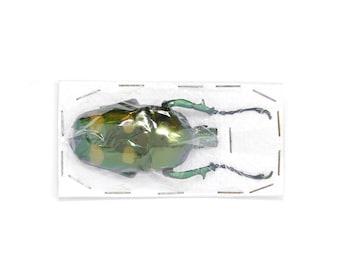 Jumnos ruckeri ruckeri 54.5mm A1 | Thailand Flower Beetle, Entomology Specimen