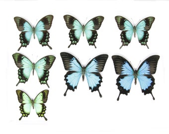 SECONDS (A-/A2) A Collection of Papilio Swallowtail Butterflies, Pinned Spread Entomology Taxidermy Specimens