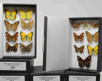 A box of 8 pinned BRITISH Butterflies, English LEPIDOPTERA Dry-Preserved Mounted Specimens