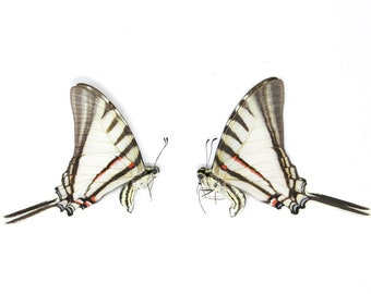 2 x Short-lined Kite Swallowtail | Eurytides agesilaus autosilaus | Dry-Preserved Unmounted Butterfly Specimens A1