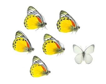 Five (5) Jezebel Butterflies | Delias oraia | Unmounted Papered Butterfly Entomology Specimens