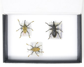Set of Long Snout Weevils | Pinned Insect Specimens | Labelled Beetles Presented in a Gift Box