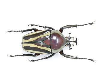Dicronorhina derbyana 41.6mm, A1 Real Beetle Pinned Set Specimen, Entomology Taxidermy #OC55