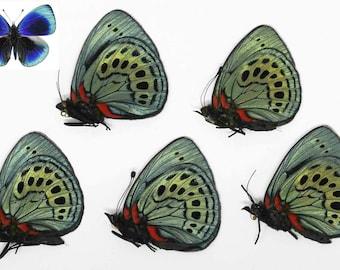 FIVE (5) The Leprieur's Glory | Asterope leprieuri philotima | Dry-preserved specimens