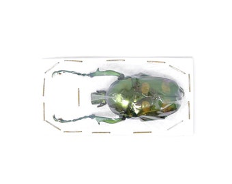 Jumnos ruckeri ruckeri 46.5mm A1 | Thailand Flower Beetle, Entomology Specimen
