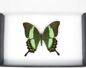 1 x Emerald Swallowtail | WINGS SPREAD | A1 Papilio palinurus daedalus | Set Butterfly Specimen Pinned in Box