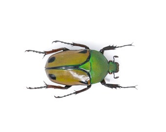 Eudicella euthalia 34.2mm, A1 Real Beetle Pinned Set Specimen, Entomology Taxidermy #OC49