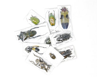 Pack of 5, 10, 25, 50 Assorted Beetles | Unmounted Insect Specimens for Entomology Taxidermy