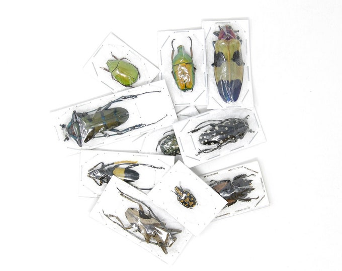 Featured listing image: Pack of 5, 10, 25, 50 Assorted Beetles | Unmounted Insect Specimens for Entomology Taxidermy