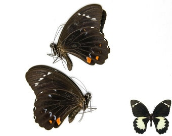 TWO (2) Orchard Swallowtail Butterflies, Papilio aegeus, Ethical Insect Specimens for Collecting, Art, Entomology, Learning & Education