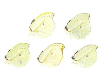 Five (5) Orange Brimstone Butterflies | Gonepteryx amintha | Unmounted Papered Butterfly Entomology Specimens