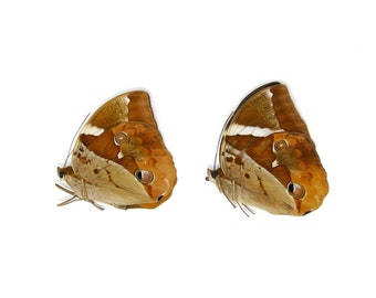 2 x Tufted Jungleking (Thauria aliris pseudaliris) A1 Dry-Preserved Unmounted Butterfly Specimens for Entomology, Taxidermy, Artists