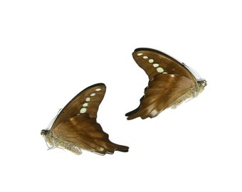 2 x Green Banded Swallowtail | Graphium codrus | Dry-Preserved Unmounted Butterfly Specimens A1