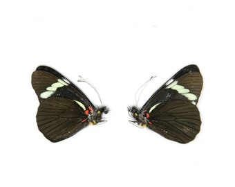 2 x Pereute telthusa   Dry-Preserved Unmounted Butterfly Specimens A1