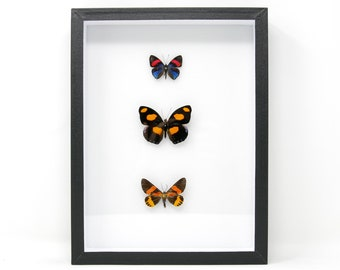 Tropical Dry-preserved Butterfly Specimens | Pinned, Entomology Box Frame | 12x9x2 inch