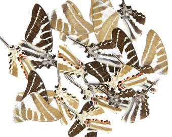 Loose Butterfly Wings (24) Spot Swordtail (Graphium nomius) Real Insects for Artistic Creation