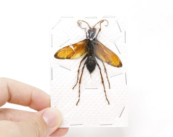 Giant Parasitic Wasp, Real Preserved Specimen, Entomology Taxidermy, Insect Art Supplies (SKU#HY01)