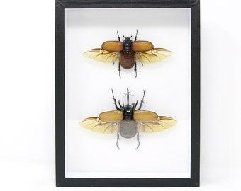 Pair 5 Horn Giant Rhino Beetle Specimens A1   Museum Entomology Box Frame   12x9x2 inch