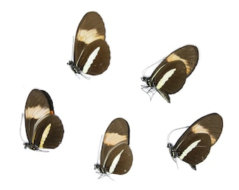 Five (5) The Postman Butterfly, Heliconius melpomene, Unmounted Papered Butterflies, Specimens for Collecting, Art, Entomology