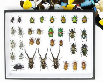 33 Beetle Specimen Collection | Pinned Entomology Insect Specimens and Data | Presented in a Museum Display Case | 12x9x2 inch