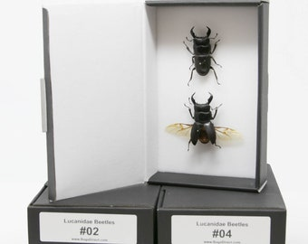 A Pair of Exotic Stag Beetles LUCANIDAE Dry-Preserved Mounted Specimens