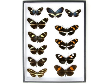 Vintage Butterfly Collection | Pinned Entomology Lepidoptera Specimens | Presented in a Museum Display Case | 12x9x2 inch