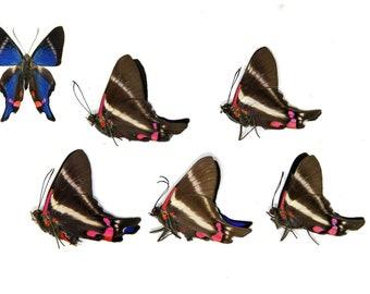 Five (5) Metalmark Butterflies | Rhetus periander | Unmounted Papered Butterflies | Entomology Specimens