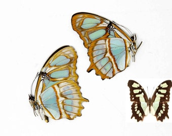 TWO (2) Malachite Brush-footed Butterflies, Siproeta stelenes, Ethical Specimens for Collecting, Art, Entomology, Learning & Education