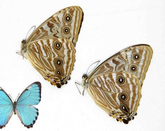 TWO (2) Morpho portis - The Portis Blue Morpho Butterfly, A1 Unmounted Dry-Preserved Specimens, Entomology Taxidermy Lepidoptera Butterflies