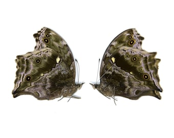 TWO (2) Blue Mother-of-Pearl Butterflies, Protogoniomorpha temora, Unmounted Papered Butterflies, Collecting, Art, Entomology, Photography