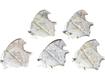 Five (5) The Forest Mother-of-Pearl, Protogoniomorpha parhassus, Unmounted Papered Butterflies, Specimens for Collecting, Art, Entomology