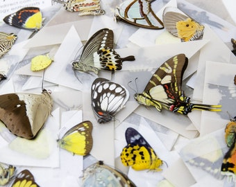 10 Preserved Butterflies, Ethically Sourced Unmounted Specimens A1 Various Assorted