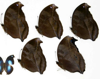 FIVE (5) Napocles jucunda - The Great Blue Butterfly, Dry-Preserved Specimens, Entomology Taxidermy Lepidoptera Butterflies