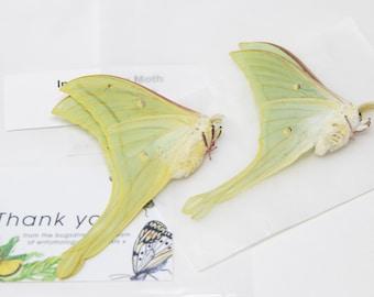 2 x Indian Moon Moths A1- | Actias selene | Farm-Raised Preserved Taxidermie Specimens