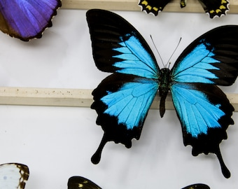 TWO (2) Papilio ulysses | Unmounted Blue Swallowtail Butterflies | Dry-Preserved Specimens, Entomology Taxidermy Lepidoptera