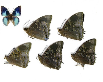 Five (5) Western Blue Charaxes | Charaxes smaragdalis | Unmounted Papered Butterflies | Entomology Specimens