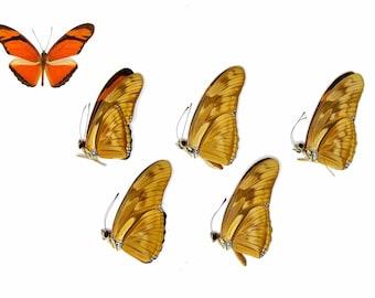 Five (5) Julia Butterflies | Dryas julia | Unmounted Papered Butterfly Entomology Specimens