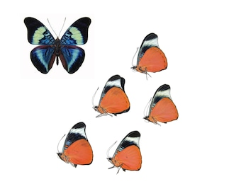 Five (5) Red Flasher Butterflies | Panacea prola | Unmounted Papered Butterfly Entomology Specimens