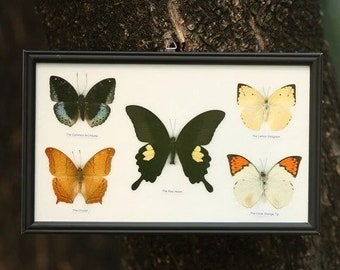 Five Framed Butterflies | Assorted Designs and Species | Mounted in a Wall Hanging Frame, Taxidermy Home Decor, 13 x 9 inches