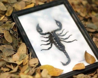 Giant Thai Forest Scorpion (Heterometrus spinifer) | Framed Arachnid Wall Decor | Unique Taxidermy Collectables | 8 x 6 in. Gift Boxed
