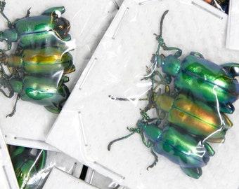 6 x Metallic Frog-Leg Beetles | Sagra longicollis | Pretty Insect Specimens for Entomology Art