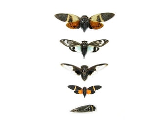 5 x Cicada Collection | A1 Entomology Dried Insect Specimens, Taxidermy, Artistic Creation