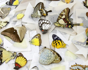 10 Mixed Lot of Real Colorful Butterflies, Unmounted Papered Specimens, Excellent Condition