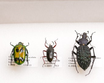 Beetle Specimen Collection | Pinned Entomology Insect Specimen and Data | Presented in a Gift Box
