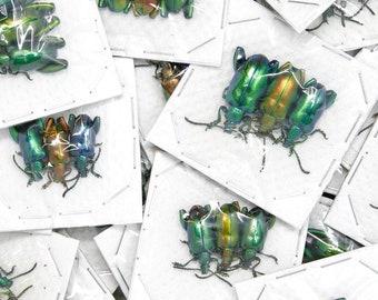 WHOLESALE 150 Metallic Frog-Leg Beetles | Sagra longicollis