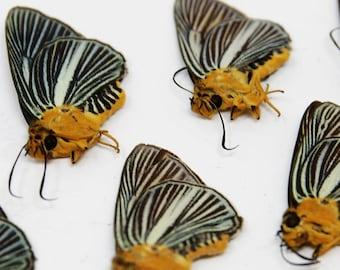 TEN (10) Bibasis Gomata |  Pale Green Awlet Butterflies | Dry-preserved specimens