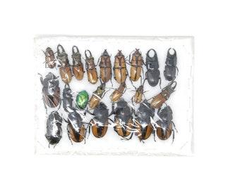 Insect Specimen Collection, Laos 2021 (Southeast Asia) Set #514