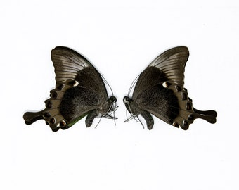 Two (2) Papilio palinurus daedalus, Dry-Preserved Butterfly Specimens, Entomology Lepidoptera Taxidermy Butterflies Insect Art Supplies