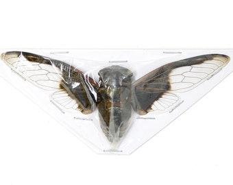 2 x Black & White Bat Cicada, Spread Specimens, Cryptotympana aquila, 100mm A1