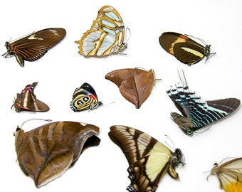 10 Farmed Butterflies from S. America, Real Dried Butterfly Collection, Preserved Unmounted Specimens (Lepidoptera, Entomology) FARM-RAISED